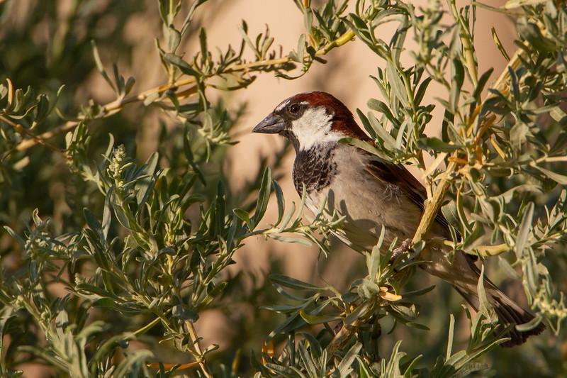 House Sparrow - Sierra Vista, AZ, USA