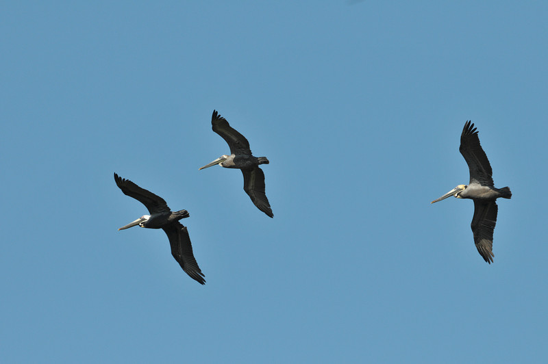 brown pelicans are always entertaining