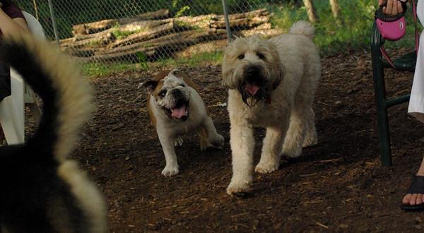 july 1 resize::BUDDY (bulldog), Bailey (wheaton)