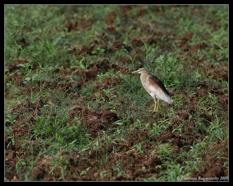 Pond Heron Breeding Plumage, Our Garden, Amruthur, Karnataka, India, June 2009