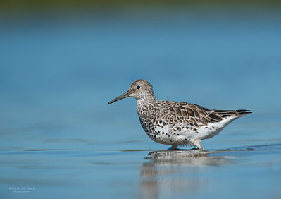 Great Knot (Calidris tenuirostris) EN