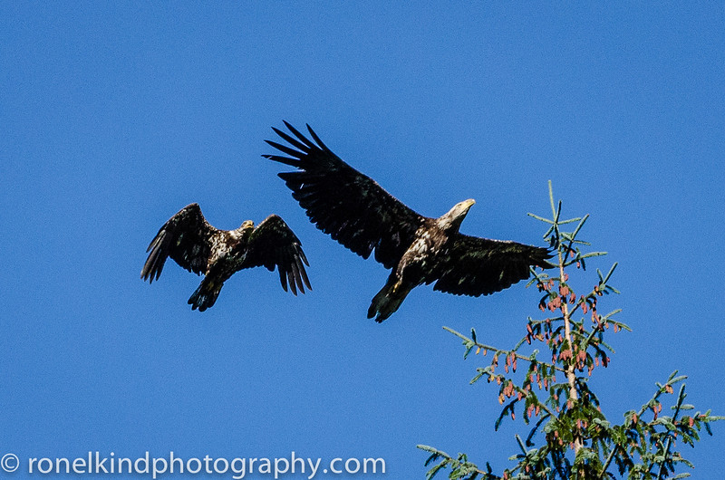 Soaring Immature Eagles, don't develop white heads, until they are about 5 years old.