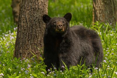 BLACK BEARS OF THE SMOKY MOUNTAINS