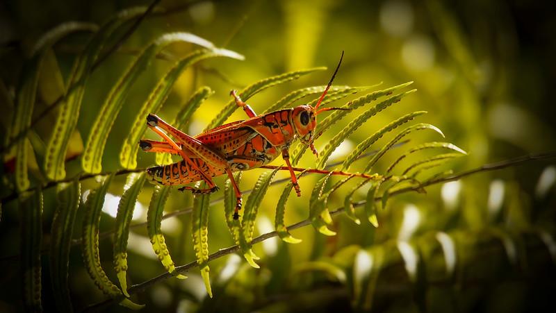 Grasshoppers 21.jpg