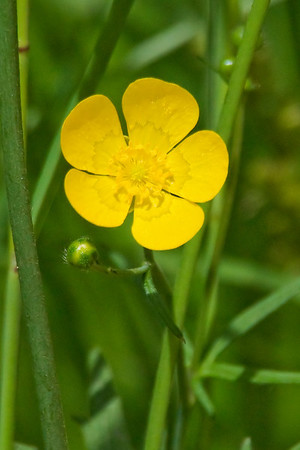 Buttercup-Common - Madeline Island, WI