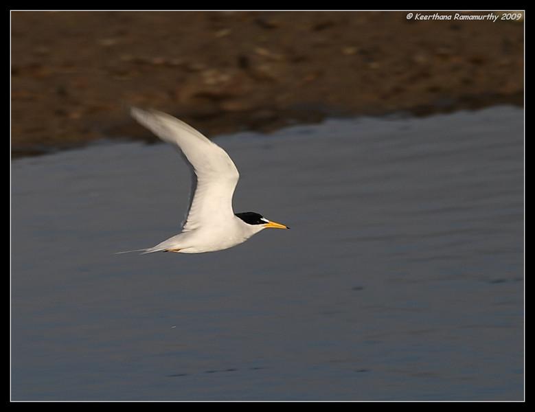 Least Tern in golden light, Tijuana River Estuary, San Diego County, California, May 2009