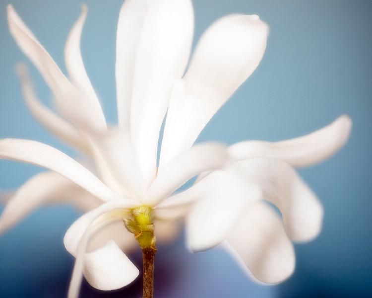 star-magnolia-02.jpg