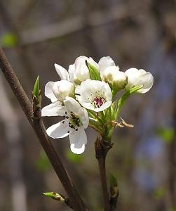 apple-blossom_111083537_o.jpg