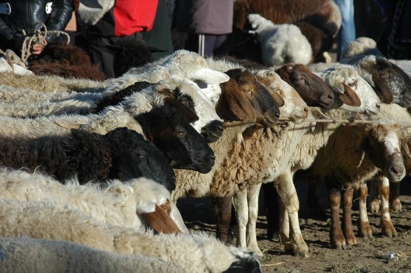 Karakol Animal Market, Sheep for Sale - Kyrgyzstan
