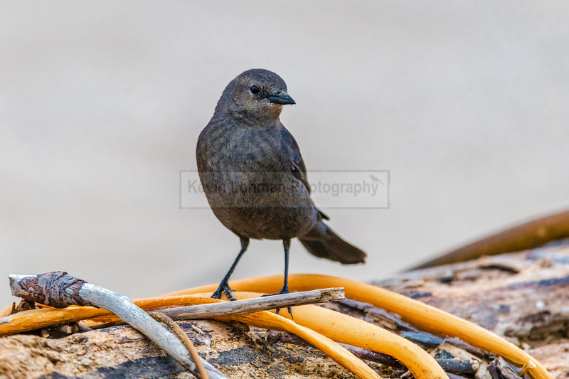 Brewer's Blackbird on Log with Kelp