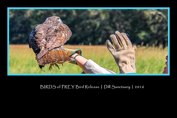 BIRDS of PREY _ Bird Release _ Dill Sanctuary _ 2016