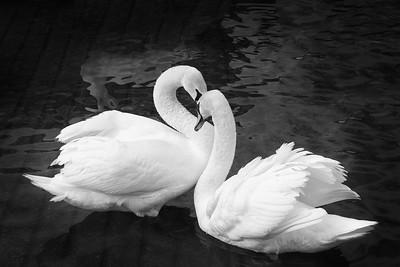 Collingwood's Mute Swans