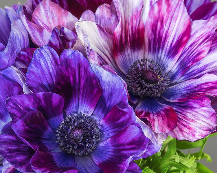 multicolor-anemone-03.jpg