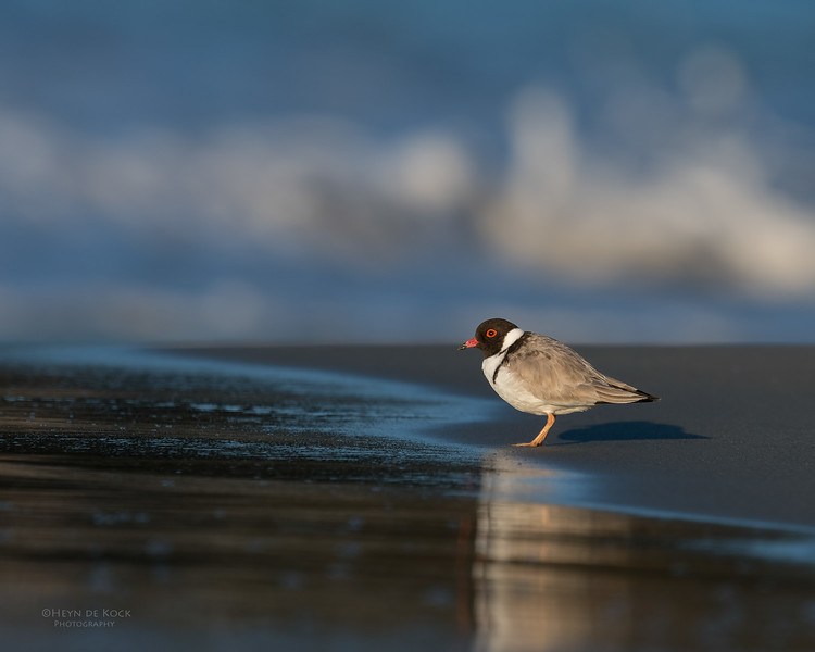Hooded Plover, Bruny Island, TAS, Sept 2016-18.jpg