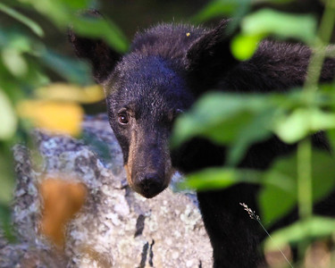 Black Bear of the forest