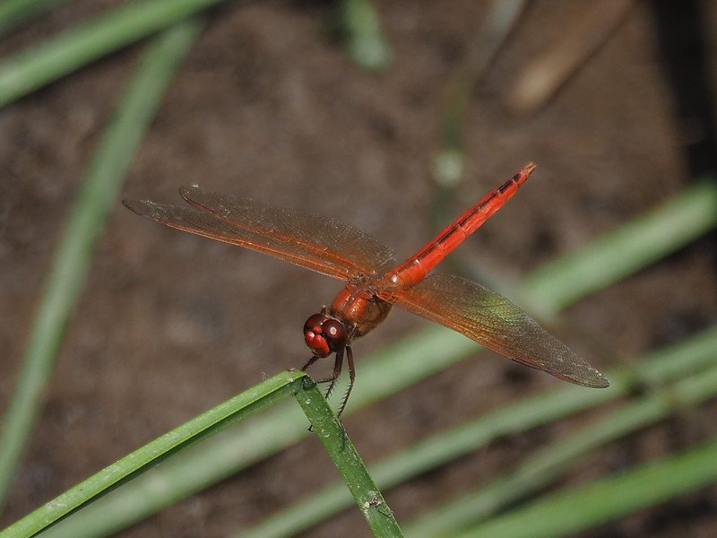 Needham's Skimmer, male