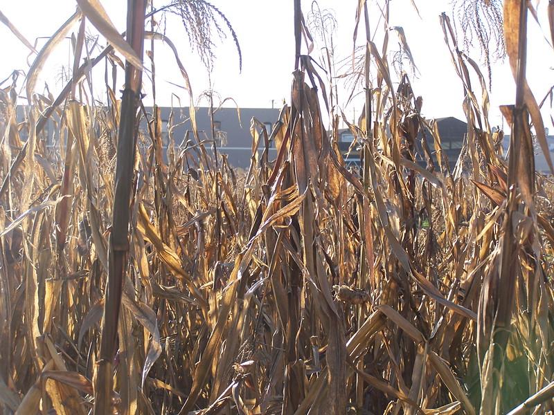 06-01-13_So_Much_Not_Corn-005.jpg
