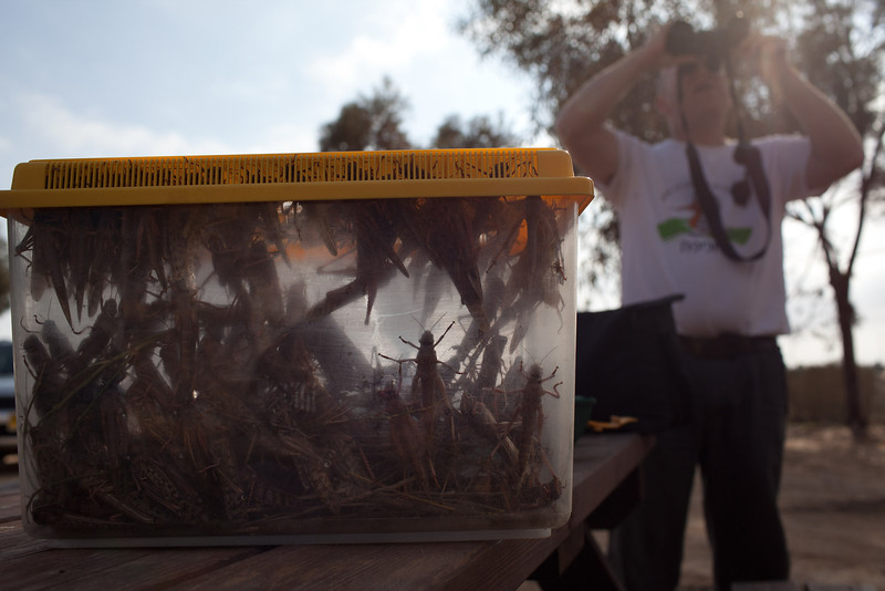 . An Israeli man looks at his binoculars after he collected locusts as a Swarm of locusts arrives in Israel near the Egyptian border on March 6, 2013 in Kmehin, Israel. Egypt and Israel have been swarmed with millions of locusts over the past few days causing wide spread disturbances.  (Photo by Uriel Sinai/Getty Images)