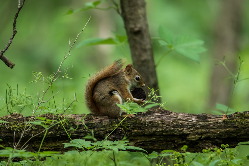 A squirrel finds a walnut at the Celery Bog near Purdue University in West Lafayette, Indiana