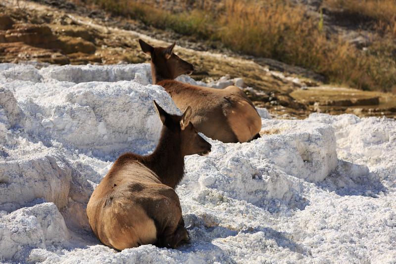 Mammoth Mule Deer 002