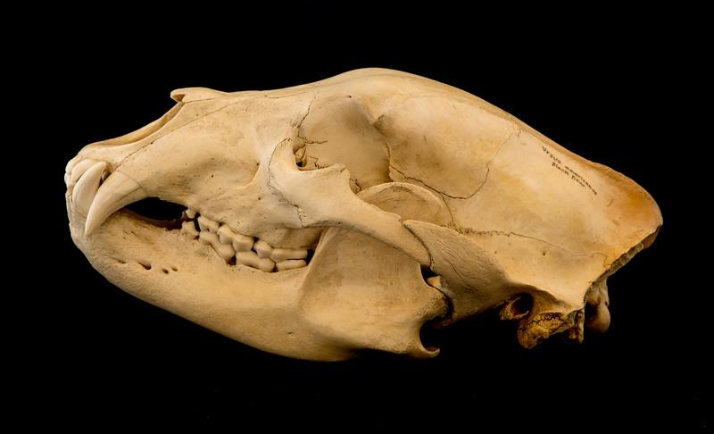 Black Bear Male (Ursus americanus) Ursidae