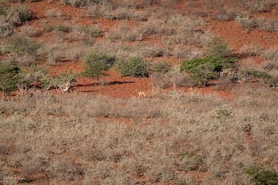 Impala (spp petersi)