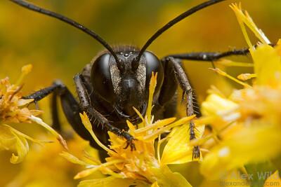 Sphex pensylvanicus, the great black wasp.  Urbana, Illinois, USA