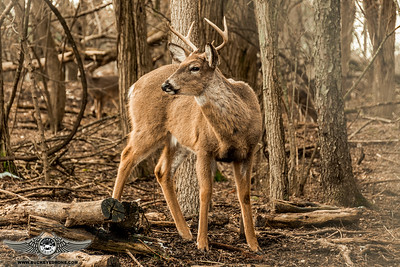 Kmart Deer  2-18-2018