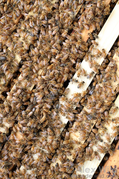 Bees in a Langstroth moveable-frame hive.