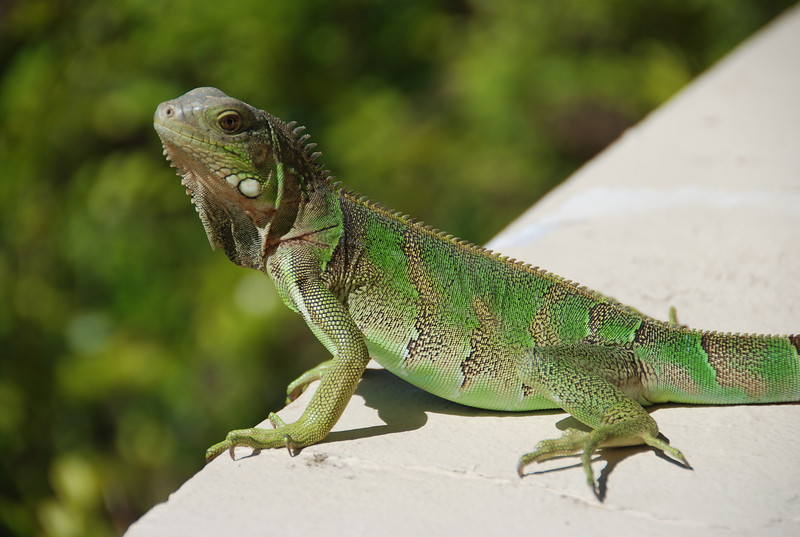 Iguana - Aruba