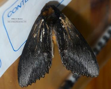 Hylaeora sp1 (undescribed)