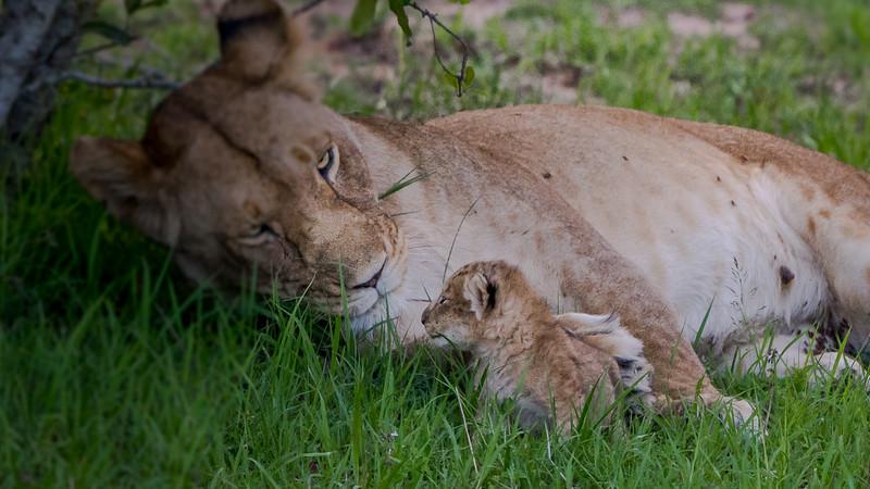 Lions-0116.jpg