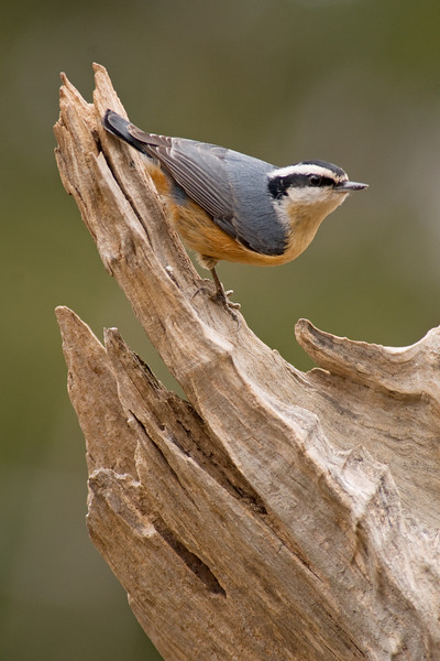 Nuthatch - Red-breasted - male - Dunning Lake, MN - 03