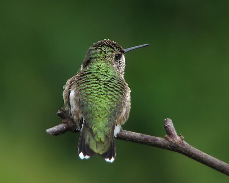 hummingbird_1750.jpg
