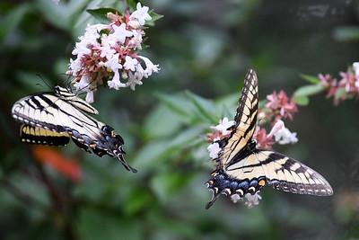Butterfly Evening