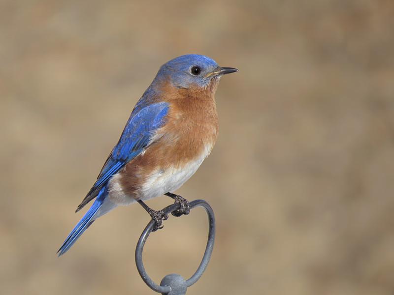 sx50_bluebird_147.jpg