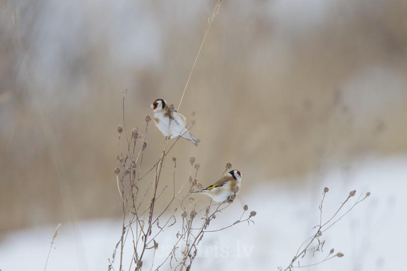 Goldfinches / Dadzītis