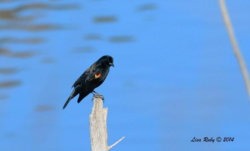 Red-winged Blackbird - 1/2/2015 - Lake Hodges, southeast trail (south of footbridge)