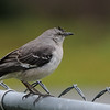 The mockingbird waits to run off the other birds at the feeder.
