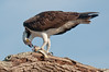 Fish, It's Not Just for Breakfast: Osprey at Anastasia Park  #1 10/14