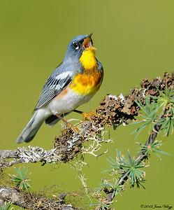 Northern Parula Warbler, Parula americana