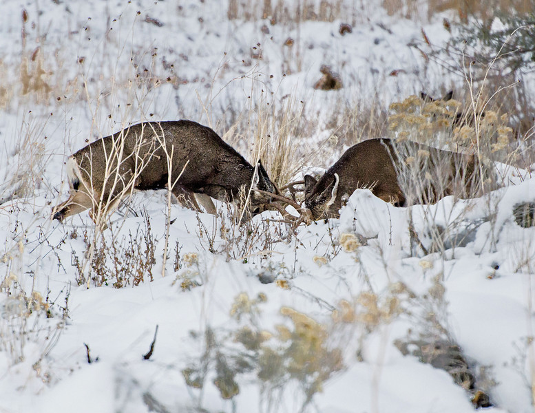 I watched thse two Mule Deer Bucks fighting for domance, what a sight