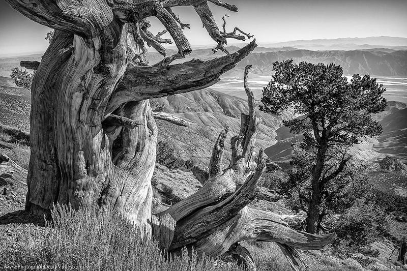 Pine Trees Death Valley monochrome.jpg