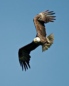 Eagle Banding