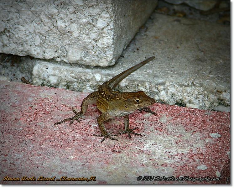 2014-06-23_IMG_4113_Brown Anole Lizard  ...Clearwater,Fl._.JPG