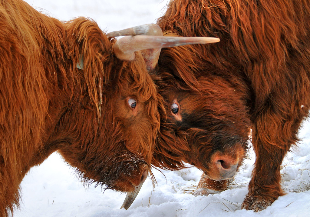 """. After locking horns, Scottish Highland steers \""""Number One,\"""" left and \""""Number Six\"""" give each other a baleful stare before returning to the feeding trough at Rob Strom\'s 80-acre farm in Twig, just west of Duluth, on Wednesday December 12, 2012. Strom is part of a group based at Fitger\'s Brewhouse in Duluth who will feed the herd spent grain from the brewing process, breed them and use the meat in their restaurant.  (Pioneer Press: Richard Marshall)"""