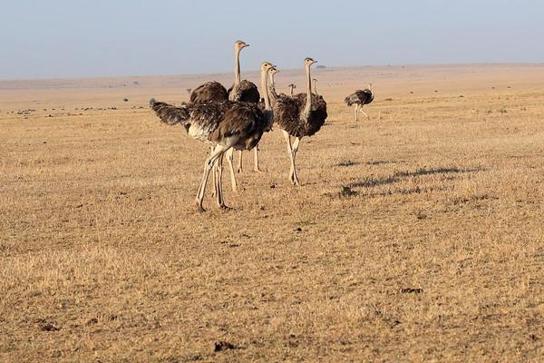 Ostrich Mara Reserve Kenya 2017