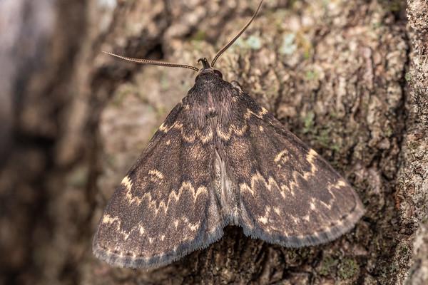 Idia lubricalis - Glossy black Idia moth (USA)