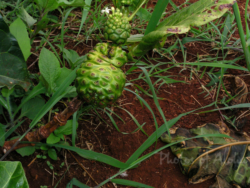 Noni is a gnarling looking foul-tasting medicinal plant which grows wild in Hawaii.  Big Island, Hawai'i