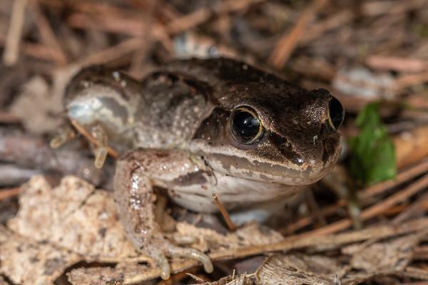 Lithobates sylvaticus - Wood frog